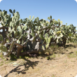 Opuntia species growing from dumped cuttings
