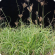 Rhodes grass plant