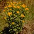 Ragwort plant with daisy-like, yellow flowers