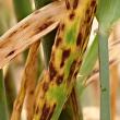 Ramularia leaf spot in barley