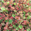 Red leaf syndrome in subterranean clover