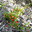 Red witchweed plant with red flowers.