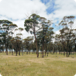 Photograph of mature remnant trees with pasture species completely replacing the understorey