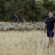 Rylington Merino flock