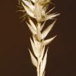 Limestone grass seedhead.