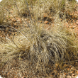 Ribbon grass is also called Golden Beard grass. This example has been lightly grazed.