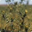 Saffron thistle is hardy weed and is arguably the most widespread thistle in Australia