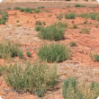 Salsola (prickly saltwort, rolypoly)