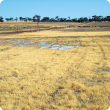 Photograph of salt affected land with a characteristic cover of sea barley grass