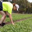 Horticultural worker manual weeding in a lettuce field