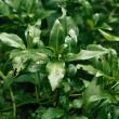 Senegal tea dark green leaves on short stalks