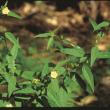 Sida (Sida acuta) plant