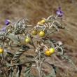 Silverleaf nightshade, fruits and flowers