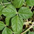 Photograph of siratro (Macroptilium atropurpureum) leaf