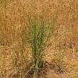 Skeleton weed in wheat.