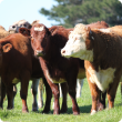 Beef cattle standing in a paddock
