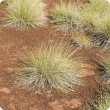 Photograph of soft spinifex (Triodia pungens) in the east Kimberley