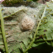 Cluster caterpillar moths lay egg masses and larvae feed together on a leaf producing lace like damage symptoms