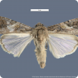 Male fall armyworm moth