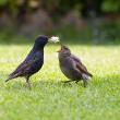 Adult starling feeding a juvenile