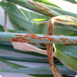Stem rust pustules on wheat stems