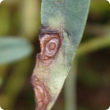 Small circular lesions appear in spring on the leaves