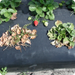 Typical symptoms of Fusarium crown rot in strawberry