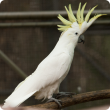 Sulphur crested cockatoo with yellow upright crest