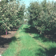 The lighter colour to leaves in apple orchards indicate a mite infestation