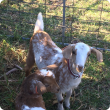 Goats correctly tagged with NLIS year of birth ear tags