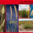 Photos of tall wheatgrass from the Saltland Genie SALTdeck series