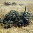 Thornapple bush on a fenceline