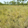 Photograph of Tippera tall grass plain pasture in good condition in the Kimberley