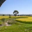 Canola crop scene
