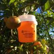 Mediterranean fruit fly trap