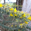 Gorse branch in flower