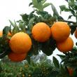 Orange crop hanging on tree at Harvey 2004.