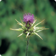 Close up view of variegated thistle showing the solitary purple flower head surrounded by long spiny bracts