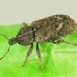 Vegetable weevil