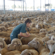 DPIRD vet at Katanning Saleyards examining sheep