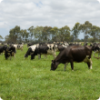 Dairy cattle grazing in paddock