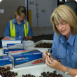 Quarantine WA staff inspecting cherries at the Canning Vale Market
