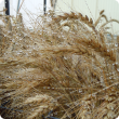 Image of wheat head following misting of water in the glasshouse