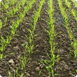 image of wheat seedlings