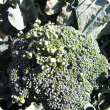 Abnormal growth of broccoli head due to white blister infection