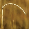 Photograph of white grass seed head