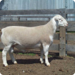 A white dorper ram in good condition and ready for mating.