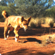 Wild dog, Western Australia, wild dog action plan, feral dog, declared pest, invasive species