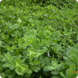 Winter sward of Cefalu arrowleaf clover showing green leaves with multiple leaf marks of different coloured bands