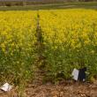 2014 Wongan Hills nitrogen rate trial